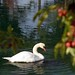 "Cincinnati - Spring Grove Cemetery & Arboretum ""Swan at the Berry Tree"""