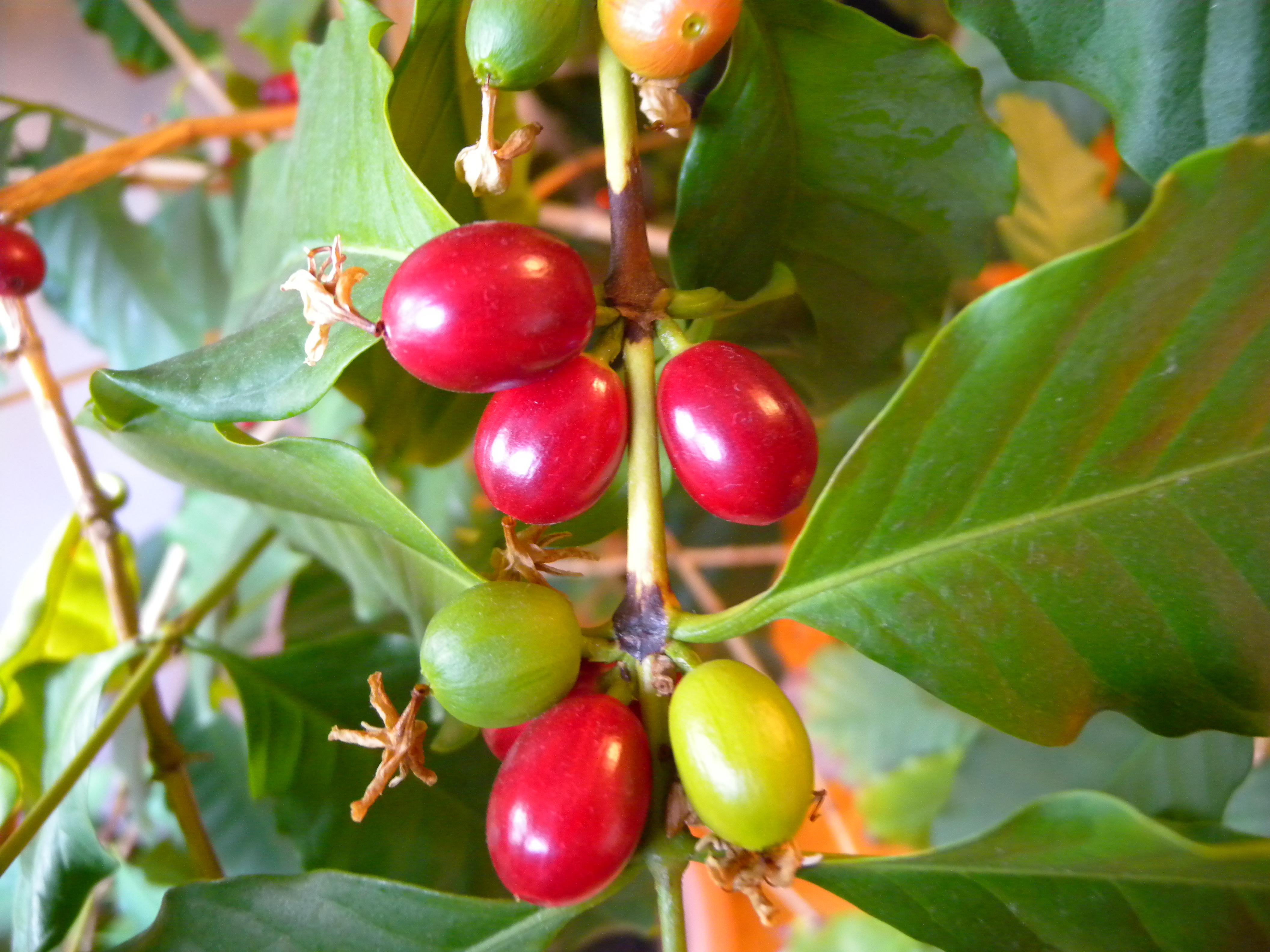 Kaffeestrauch als Zimmerpflanze Flickr Photo Sharing! ~ 01004223_Sukkulenten Als Zimmerpflanze