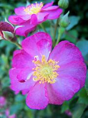 annual plant, blossom, garden roses, flower, rosa gallica, plant, rosa rubiginosa, macro photography, wildflower, flora, rosa acicularis, petal,
