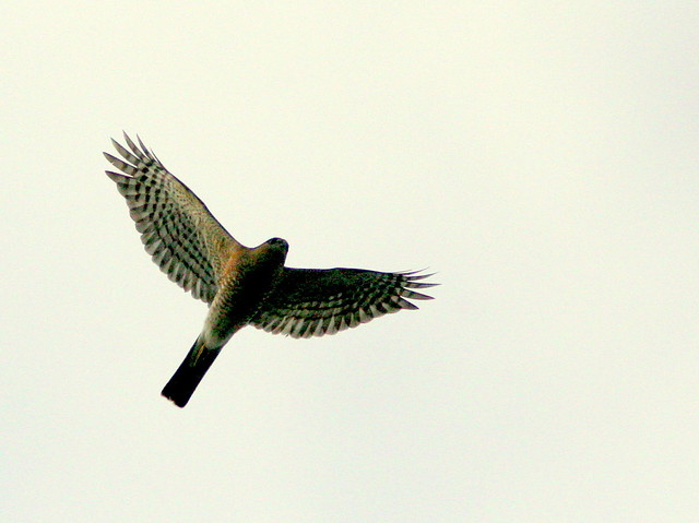 Sharp-shinned Hawk 20091206