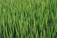 agriculture, field, grass, plant, wheatgrass, chrysopogon zizanioides, hierochloe, green, paddy field, crop, grassland,