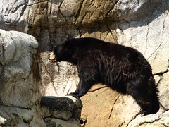 animal(1.0), american black bear(1.0), zoo(1.0), mammal(1.0), fauna(1.0), sloth bear(1.0), bear(1.0), wildlife(1.0),