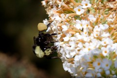 bee on a white lilac flower    MG 9175