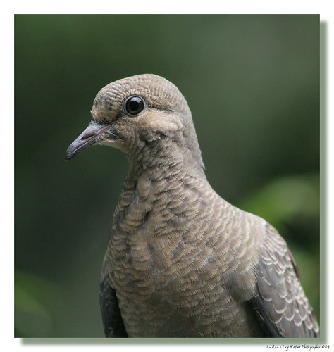 Pretty Young Dove