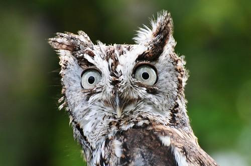 ohio bird nature closeup geotagged nikon owl d300 quailhollowstatepark hartvilleohio naturewatcher starkcountyohio rgmfc nikongp1 nikkor70300vrg quailhollowspmeetup822009