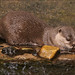 Asian Small-clawed Otter 1