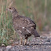 Possible female Dusky Grouse (Dendragapus obscurus)