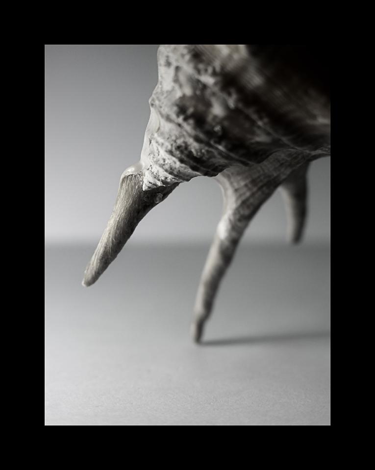 Spider Conch by Nicholas M Vivian