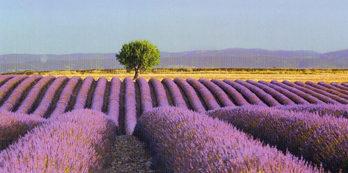 Lavender Field postcard (Germany)
