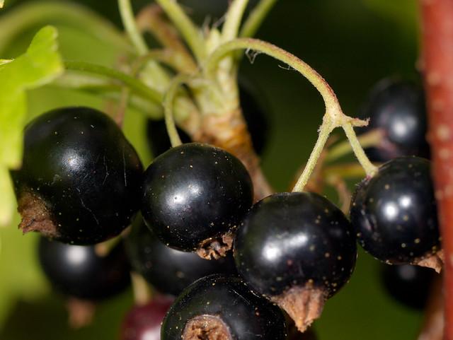 Blackcurrant - Solbær (Ribes nigrum), Juli 2009