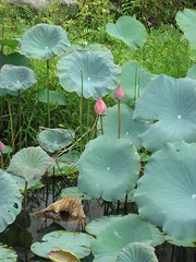 Lotus flowers again