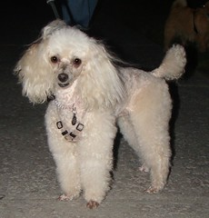 bichon frisã©(0.0), cavachon(0.0), schnoodle(0.0), lagotto romagnolo(0.0), lã¶wchen(0.0), poodle crossbreed(0.0), havanese(0.0), bichon(0.0), dandie dinmont terrier(0.0), cockapoo(0.0), toy poodle(1.0), miniature poodle(1.0), standard poodle(1.0), dog breed(1.0), animal(1.0), dog(1.0), pet(1.0), bolonka(1.0), poodle(1.0), carnivoran(1.0),
