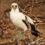 Nazca Boobie - Galapagos Islands