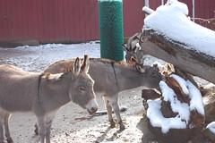deer(0.0), goats(0.0), domestic goat(0.0), wildlife(0.0), reindeer(0.0), animal(1.0), donkey(1.0), winter(1.0), snow(1.0), pack animal(1.0), fauna(1.0),