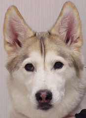 alaskan klee kai(0.0), tamaskan dog(0.0), dog breed(1.0), animal(1.0), dog(1.0), siberian husky(1.0), pet(1.0), canadian eskimo dog(1.0), east siberian laika(1.0), greenland dog(1.0), northern inuit dog(1.0), wolfdog(1.0), saarloos wolfdog(1.0), native american indian dog(1.0), alaskan malamute(1.0), sled dog(1.0), carnivoran(1.0),