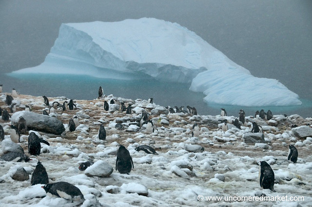 Penguin Rookery at Danco Island - Antarctica