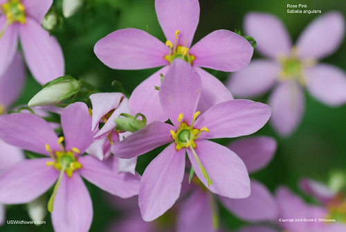 Rose Pink - Sabatia angularis by USWildflowers, on Flickr