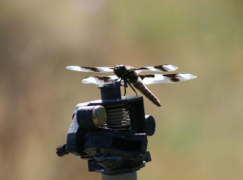 Dragonfly on a Sprinkler Head
