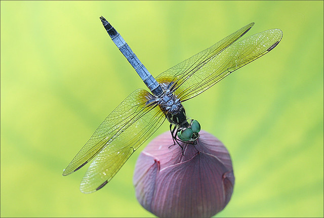 Close up of a dragonfly on a Lotus Flower Bud on green background - IMG_7149
