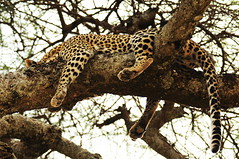 animal, big cats, cheetah, leopard, branch, mammal, jaguar, fauna, wildlife,