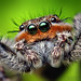 Adult Male Platycryptus undatus Jumping Spider (With Video!) by Thomas Shahan
