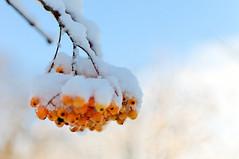 Orange berries, blue sky