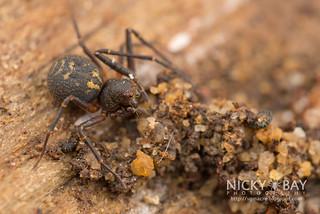 Crab Spider (Cebrenninus sp.) - DSC_4735