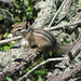 Merriam's Chipmunk - Photo (c) randomtruth, some rights reserved (CC BY-NC-SA)