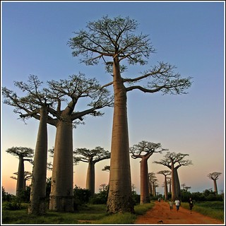 Sunset in the Baobab Avenue