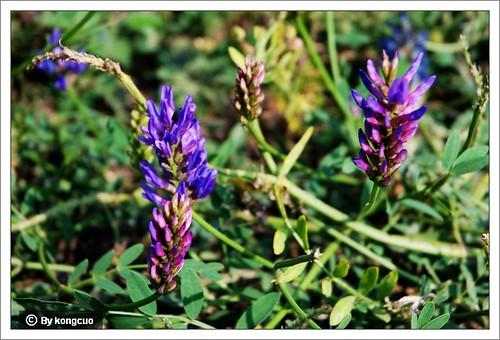 内蒙古植物照片-豆科黄芪属直立黄芪