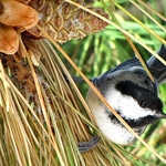 Black-capped Chickadee, Fire Island National Seashore