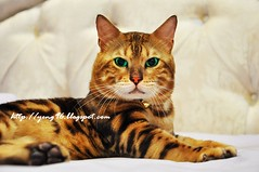 animal, bengal, tabby cat, toyger, small to medium-sized cats, pet, mammal, european shorthair, pixie-bob, fauna, close-up, cat, whiskers, manx, domestic short-haired cat,