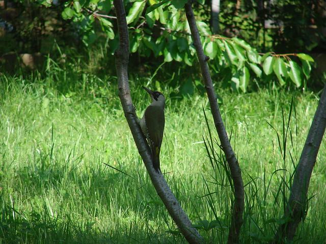 Green Woodpecker Bulgaria 2007 June