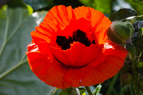 Cultivated poppy flowering