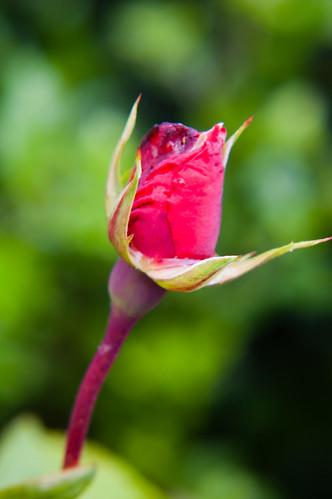Rosebud beginning to open