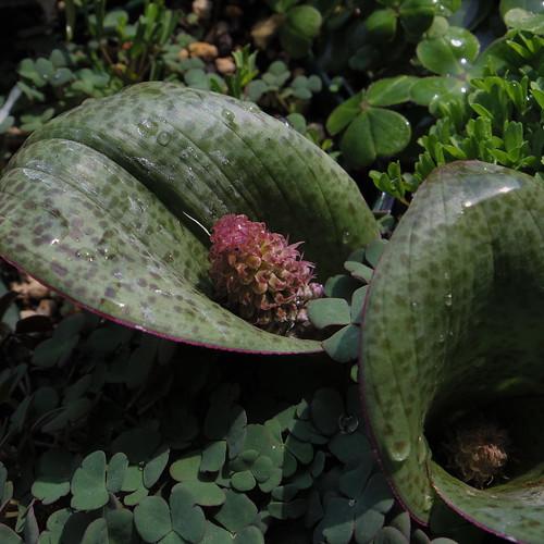 Lachenalia carrosa (Spotted leaf)