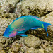Palenose Parrotfish - Photo (c) Ken-ichi Ueda, some rights reserved (CC BY-NC-SA)