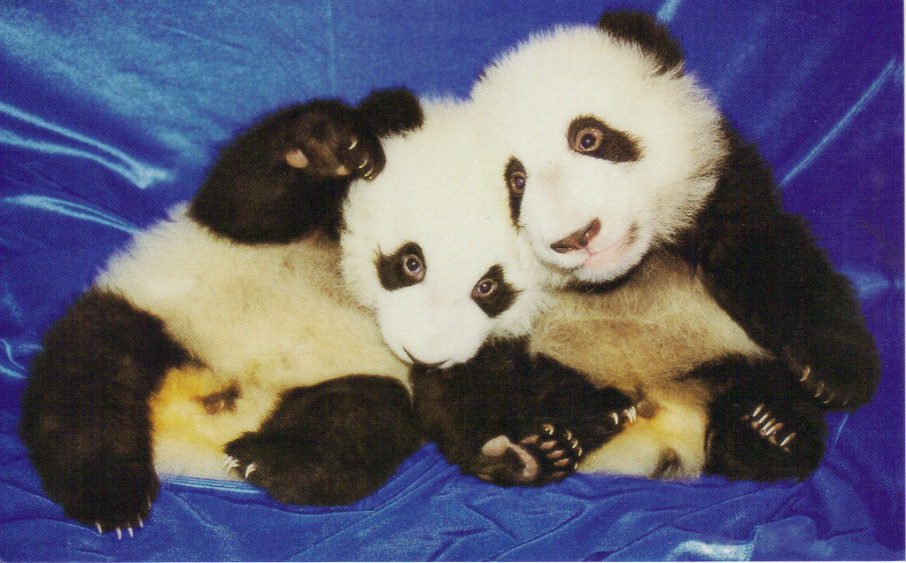 China ~ 4 Month Old Pandas
