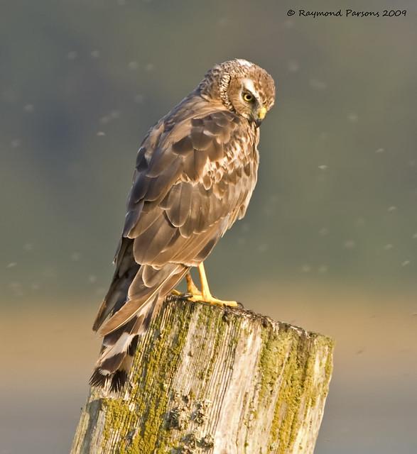 Northern Harrier [Female] | Flickr - Photo Sharing!