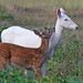 Albino Whitetail Deer Mother Nature's Big Surprise