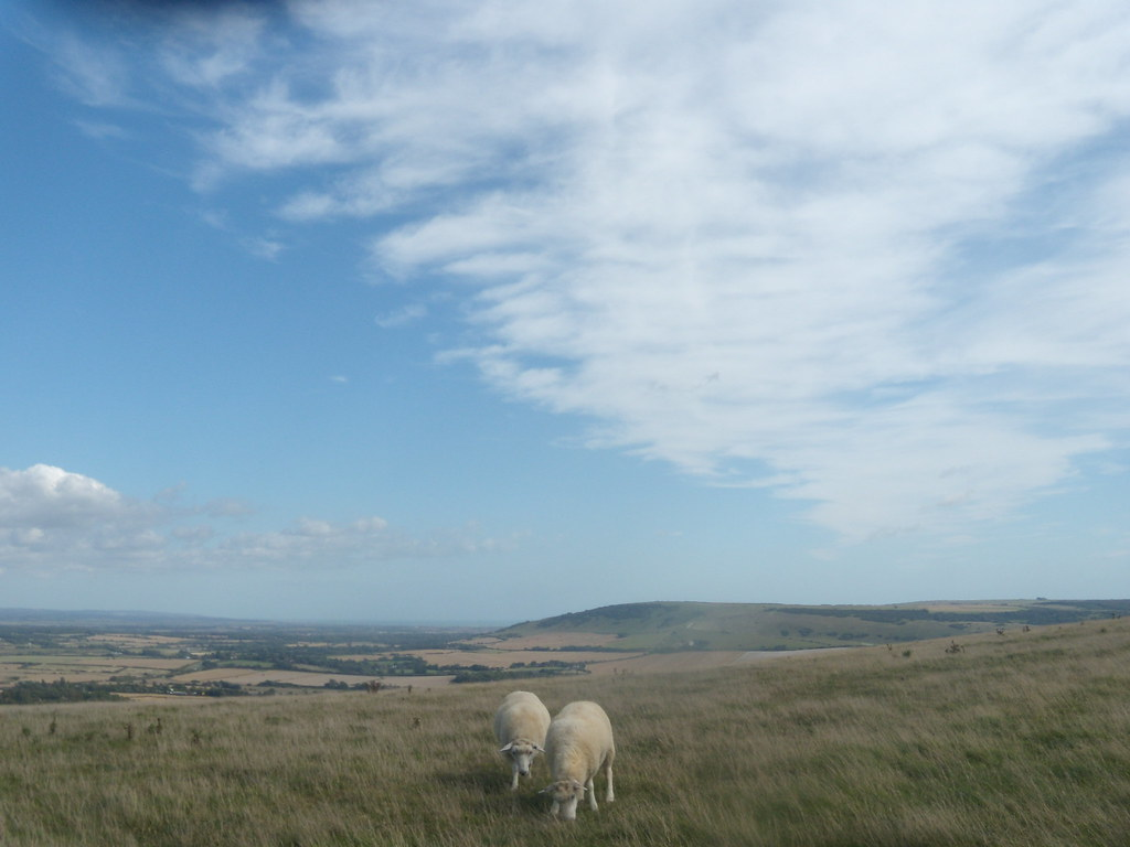 Sheep Glynde to Seaford