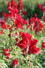 shrub(0.0), lathyrus latifolius(0.0), annual plant(1.0), flower(1.0), red(1.0), plant(1.0), flora(1.0), snapdragon(1.0), petal(1.0),