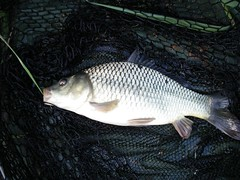 Small common on the feeder