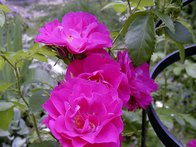 Front Yard Cottage Garden John Cabot Climbing Roses: The John Cabot Is A Climbing Rose That
