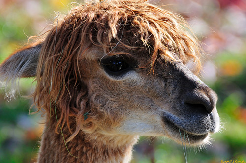 canada alpaca closeup geotagged newbrunswick moncton supershot magnetichillzoo grouptags abigfave allrightsreserved©drgnmastrpjg rawjpg geo:lat=46136742 geo:lon=6488799 ©pjgergelyallrightsreserved