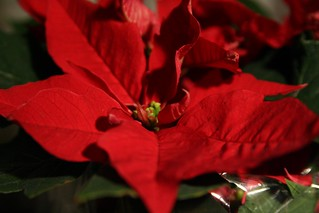 Pointsettia Flower