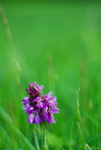 Meadow Orchid