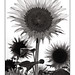 Sunflower in B&W