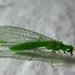 Chrysoperla rufilabris by AfricanViolet.co.uk