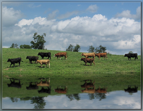 reflection green water animals clouds landscape cattle cows farm steer coth platinumphoto flickrdiamond canong10 daarklands peachesandolivia